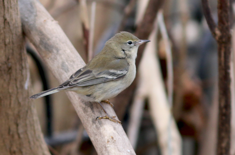 Although rare in Newfoundland, Pine Warbler makes the winter list most years. However, it is unusual for one to make it through the winter. This is the second year in a row that diligent caretakers have helped one survive the coldest season with a generous supply of high-energy food!