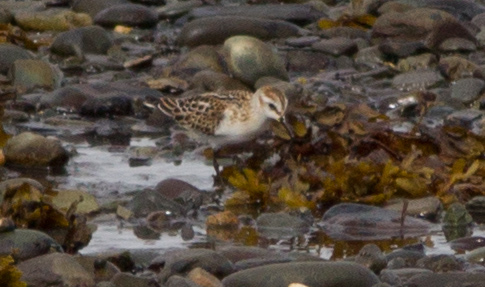 This juvenile Little Stint caused much excitement when it was found and photographed in September 2015, but to the dismay of many birders it remained elusive in following days. (Photo: Bruce Mactavish, September 13 2015).