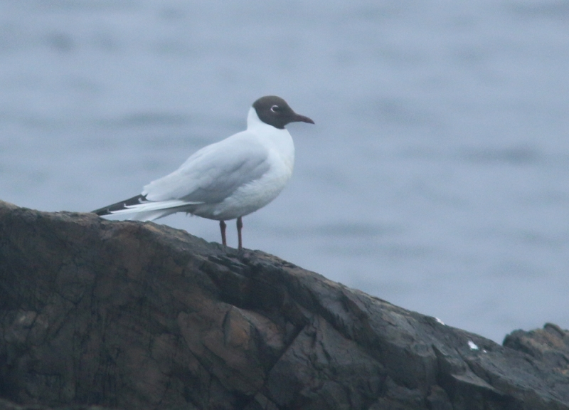 Black-headed Gulls are regular (though uncommon) in Newfoundland during winter, but it is always a treat to find one in spring sporting its fine breeding plumage.