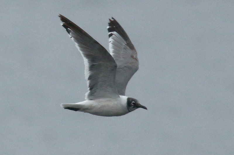 An even bigger treat was to find this Franklin's Gull - a rare visitor to Newfoundland and totally unexpected.