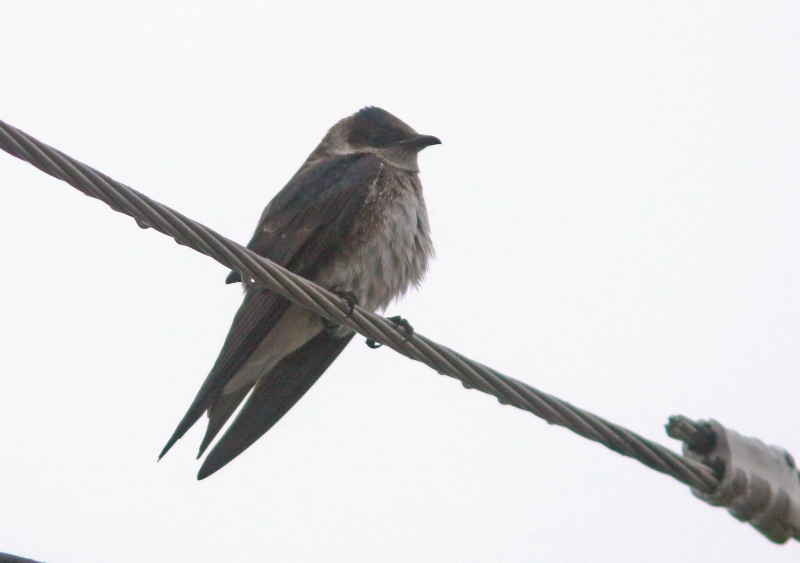 This Purple Martin had been hanging around for several days - recorded less than annually in Newfoundland, but one of a number seen so far this spring.
