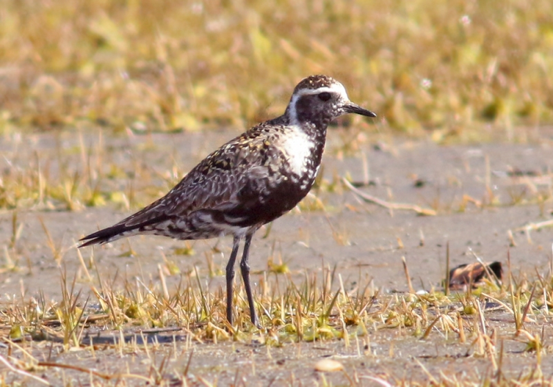 We also encountered this American Golden Plover. While a regular fall migrant, they are rare in spring and this was just the fourth spring record for the province! Documenting it required a walk across the wet, mucky mudflats.