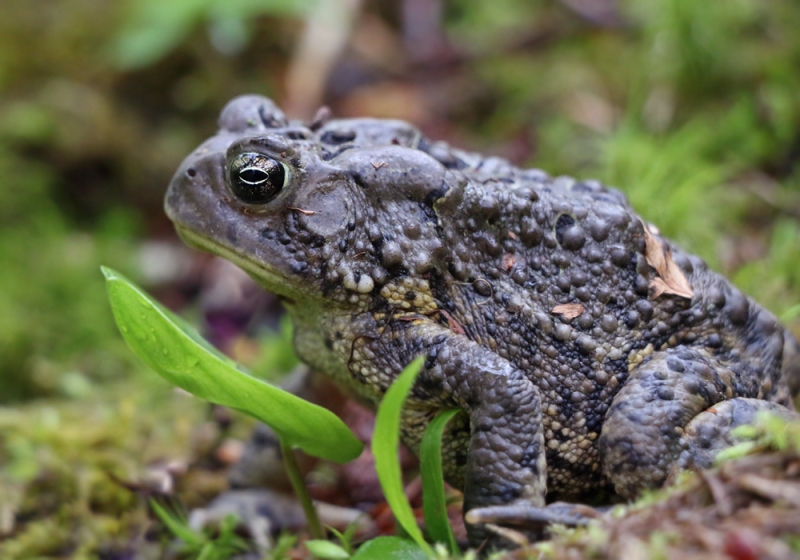 We also bumped into this American Toad along the trail. Newfoundland has no native amphibians, but these were introduced several decades ago and are now widespread through much of the island.