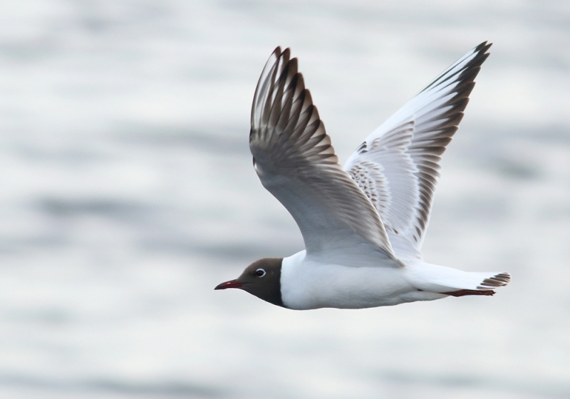 A short detour to Stephenville Crossing was very productive, and included several Black-headed Gulls. This European species has barely colonized North America, and this estuary is the only known place where it regularly breeds. They look stunning in their summer plumage!