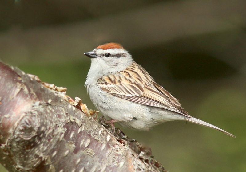 Chipping Sparrow is another species that seems at home in the Codroy Valley, but very uncommon in other parts of the island. We saw and heard several during our rounds, including this very photogenic one in a local camping area.