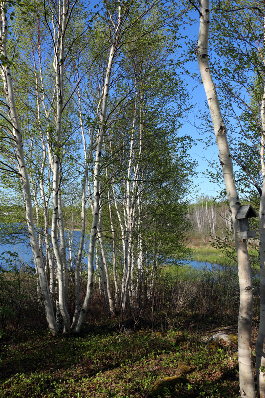 We spent a morning exploring the lovely Corduroy Brook Trails in Grand Falls-Windsor. Traversing a mix if habitats from wetlands to boreal and deciduous forests, we enjoyed a great variety of birds.