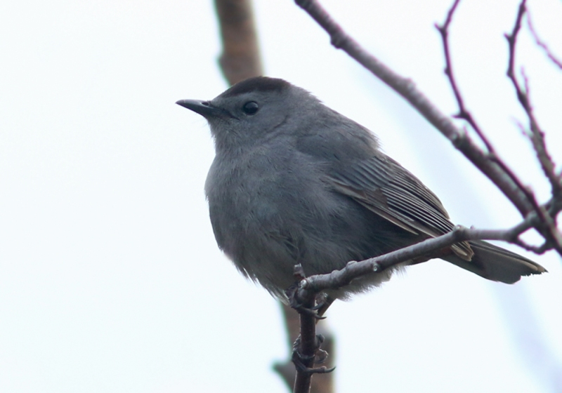 Gray Catbirds are one of those species that is very uncommon anywhere else in Newfoundland, but is often found in the southwest region. At least four individuals were found during our stay, including this one that was singing away on the Red Rocks Road.