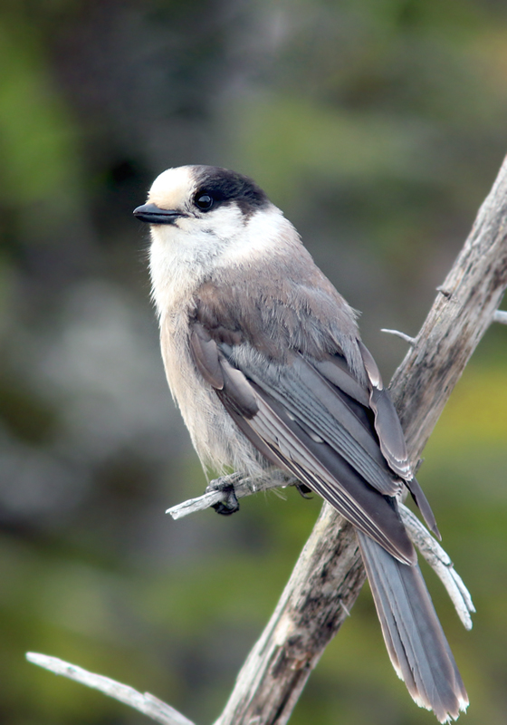 We also enjoyed two Gray Jays, hopping around and catching insects in a small bog in a small bog. These birds are never short on entertainment!