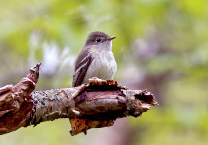 "A number of Least Flycatchers were ""singing"" here, and with a little patience we were able to get nice looks."