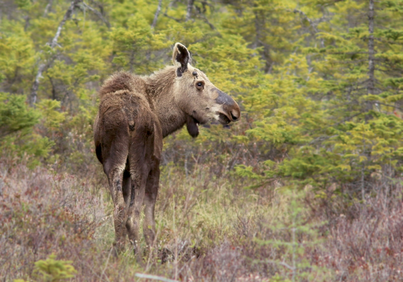 We saw several moose during the tour, including this young bull that was enjoying some tasty bog offerings.