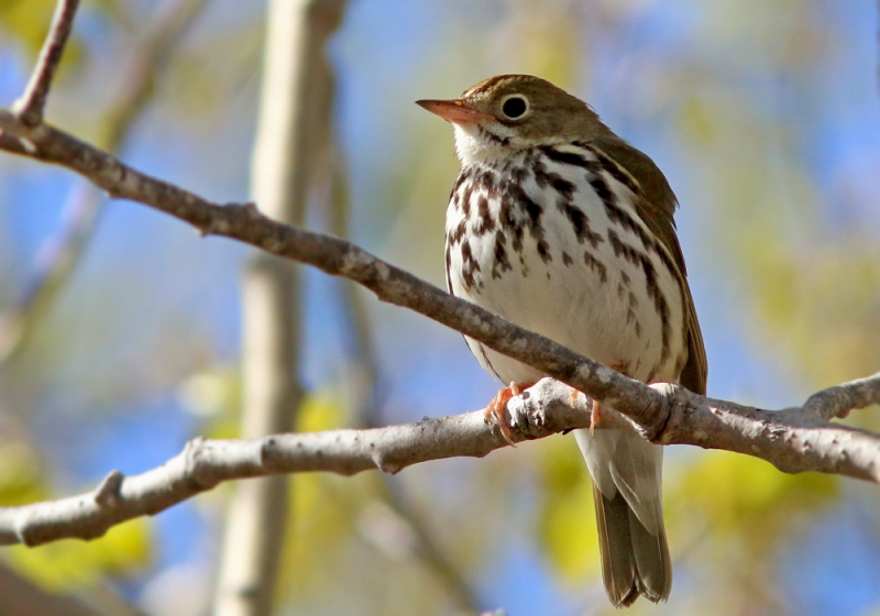 We also enjoyed great looks and the interesting song of this Ovenbird, as it sang from open perches right above the trail.