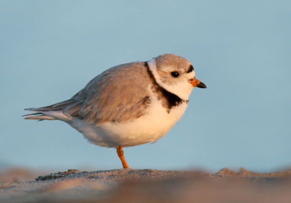 The Piping Plover has experienced drastic population declines in recent decades, due mostly to habitat disturbance. Unfortunately, human activity on sandy beaches (and especially the use of ATVs on local beaches) has created a lot of problems for these little birds.