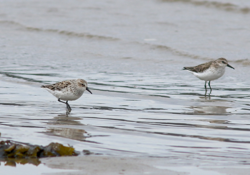 We also spotted two Semipalmated Sandpipers on the beach one evening. This species does not breed in Newfoundland, and are rather unexpected in spring (though common during fall migration).