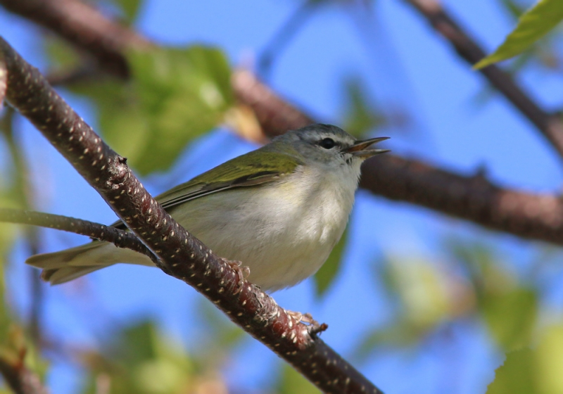 Among the highlights were a number of Tennessee Warblers - an endearing little bird that was more abundant here than in later parts of the tour.