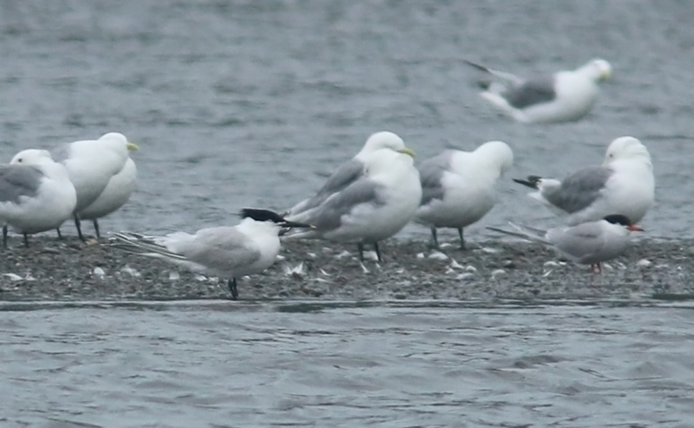This SANDWICH TERN was just the sixth record for Newfoundland, and a first for me! There is an ongoing discussion about its origins - is it American or European? (My very instant photo doesn't add much to that conversation - but it sure was great to see!). July 28, 2016, St. Vincent's NL.