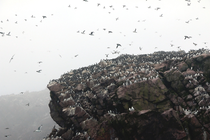 However, Puffins only account for some of the 4.5 million seabirds that nest in the reserve during the summer. A huge part of this spectacle is the incredible swarms of Common Murre that make their home on the islands' rocky cliffs.