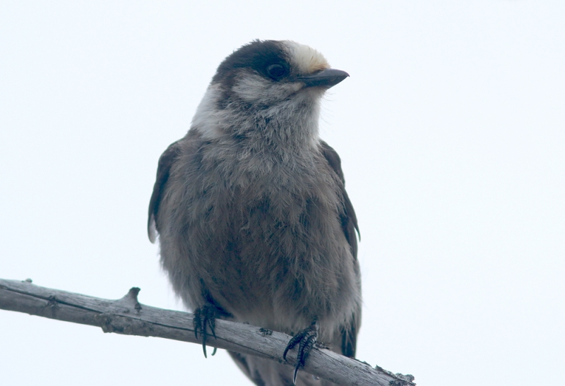 Gray Jay is often associated with northern boreal forests - a habitat that is well represented in Terra Nova National Park. We encountered these curious jays at several places during our tour, including a family group in an old burn here in the park.
