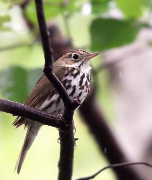 A little taste of rain in central Newfoundland didn't slow us down, and we made the most of some beautiful walking trails in Grand Falls-Windsor. This Ovenbird was one of several new species we saw as we headed west across the province and encountered new habitats and forest types.