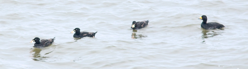 The sheltered inlet of Biscay Bay proved very productive, including very close looks at all three species of Scoter (Surf and Black pictured above) and Long-tailed Duck among other great birds.