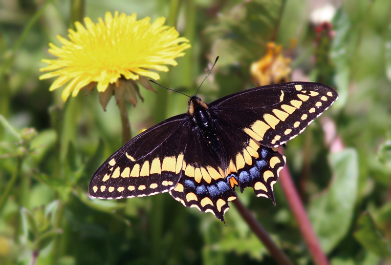 Not to be overlooked, we also soaked in incredible views of several Short-tailed Swallowtails. These stunning butterflies have a very restricted range, with Newfoundland being one of the only places you can expect to find them. And find them, we did.