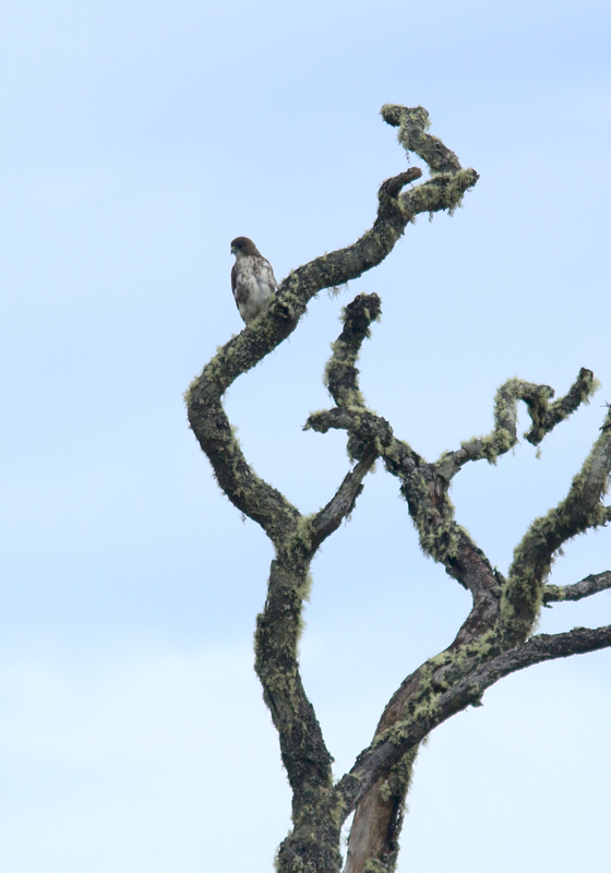 Hakalau forest is also a great place to spot I'o (Hawaiian Hawk), and we were fortunate to see at least three.