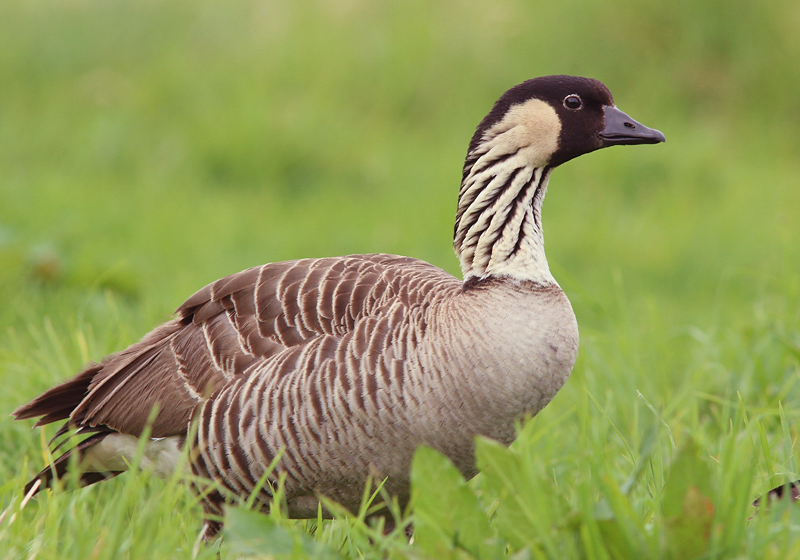 Hawaii's state bird is the Nene (Hawaiian Goose), which seems to be doing well with a growing population. We saw them at numerous locations both on Maui and Big Island.