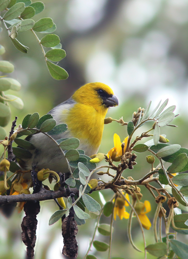 This critically endangered Palila offered one of the most memorable experiences of the trip, as it honored us with a very close encounter. One of my favourite birds in the world, this beautiful creature is the only remaining species of
