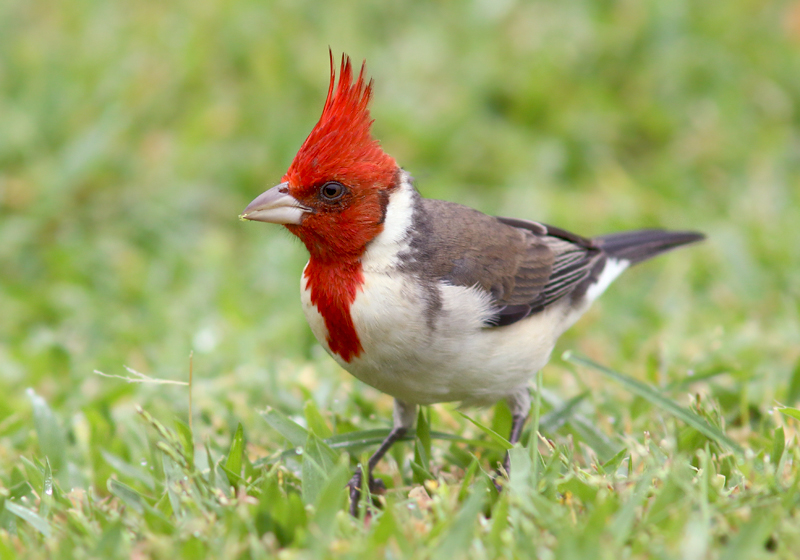 Like most of Hawaii, the park is also home to many exotic species, such as this Red-crested Cardinal. Birds from around the world have been introduced in Hawaii - usually to make up for the lack of songbirds at lower elevations where native birds have gone extinct.