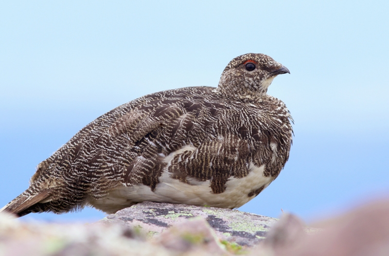 After the tour, Jody and I joined Darroch Whitaker for a climb to one of Gros Morne National Park's lesser visited summits. Here we found several Rock Ptarmigan - a new species for both of us, and one of just a few breeding species I had left to see in Newfoundland.