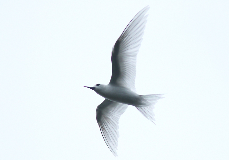 One of our main targets here was White Tern, which nest in the park and forage along the nearby coast. We encountered nearly a dozen throughout the morning. Such beautiful birds!