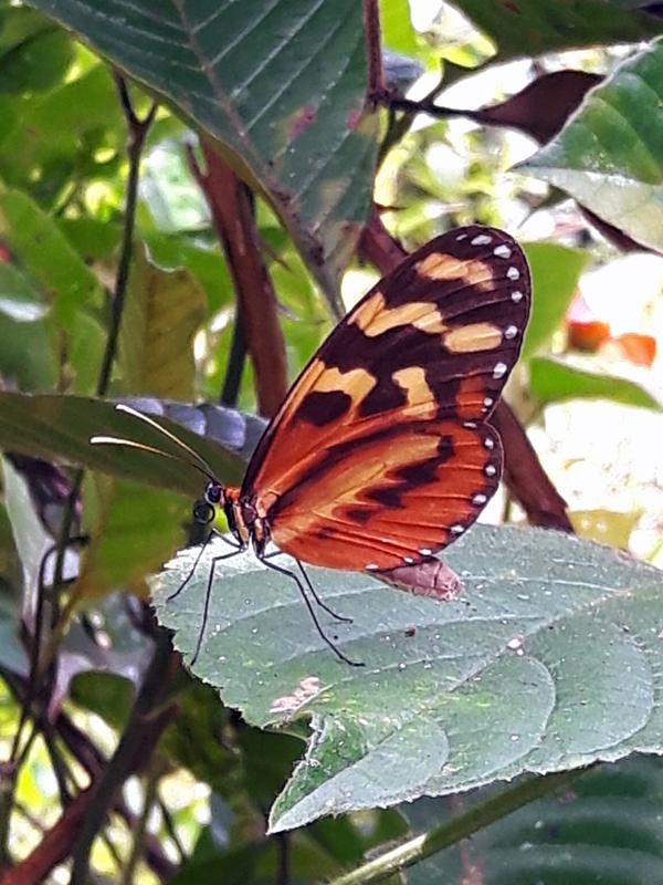 Butterfly_Honduras