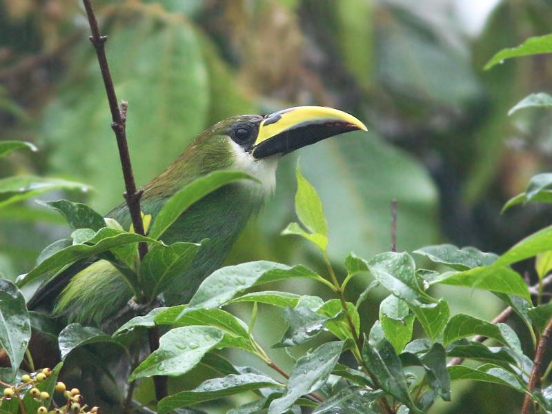 EmeraldToucanette_Honduras_0587