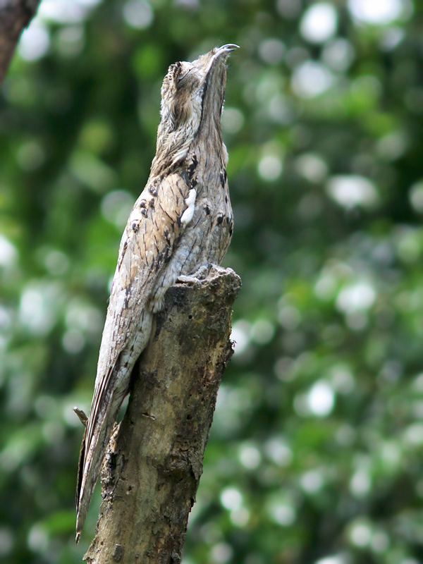 NorthernPotoo_Honduras_0242