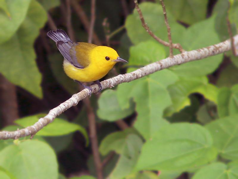 ProthonotaryWarbler_Honduras_1788