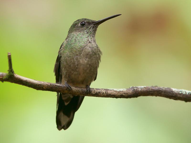 ScalyBreastedHummingbird_Honduras_2214