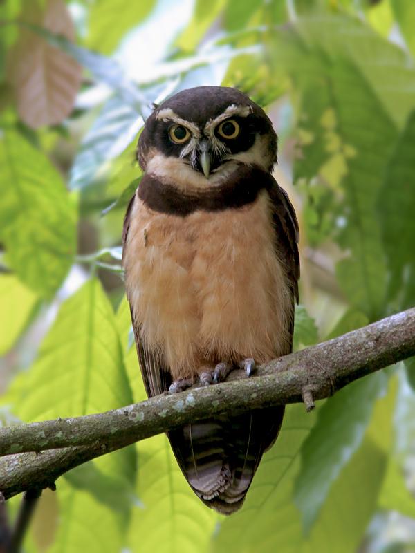 SpectacledOwl_Honduras_2419