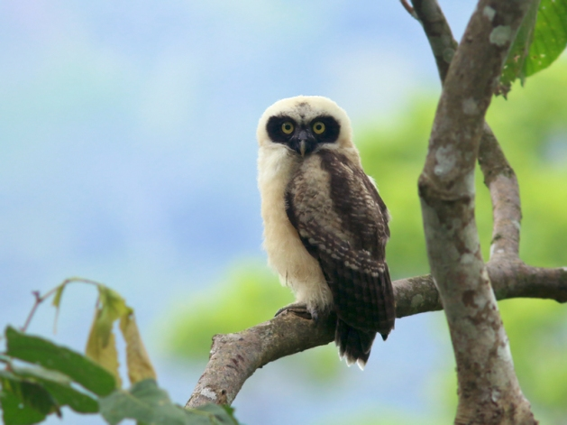 SpectacledOwl_Honduras_2475
