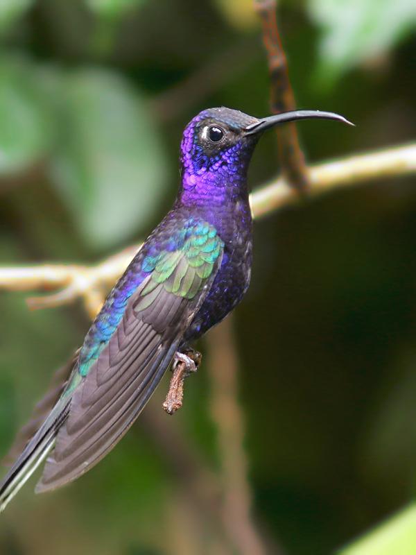VioletSabrewing_Honduras_9021
