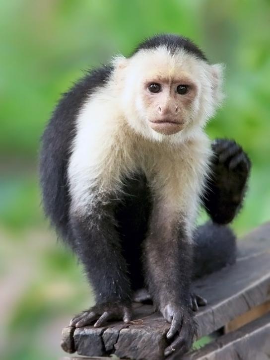 WhiteFacedCapuchin_Honduras_1661