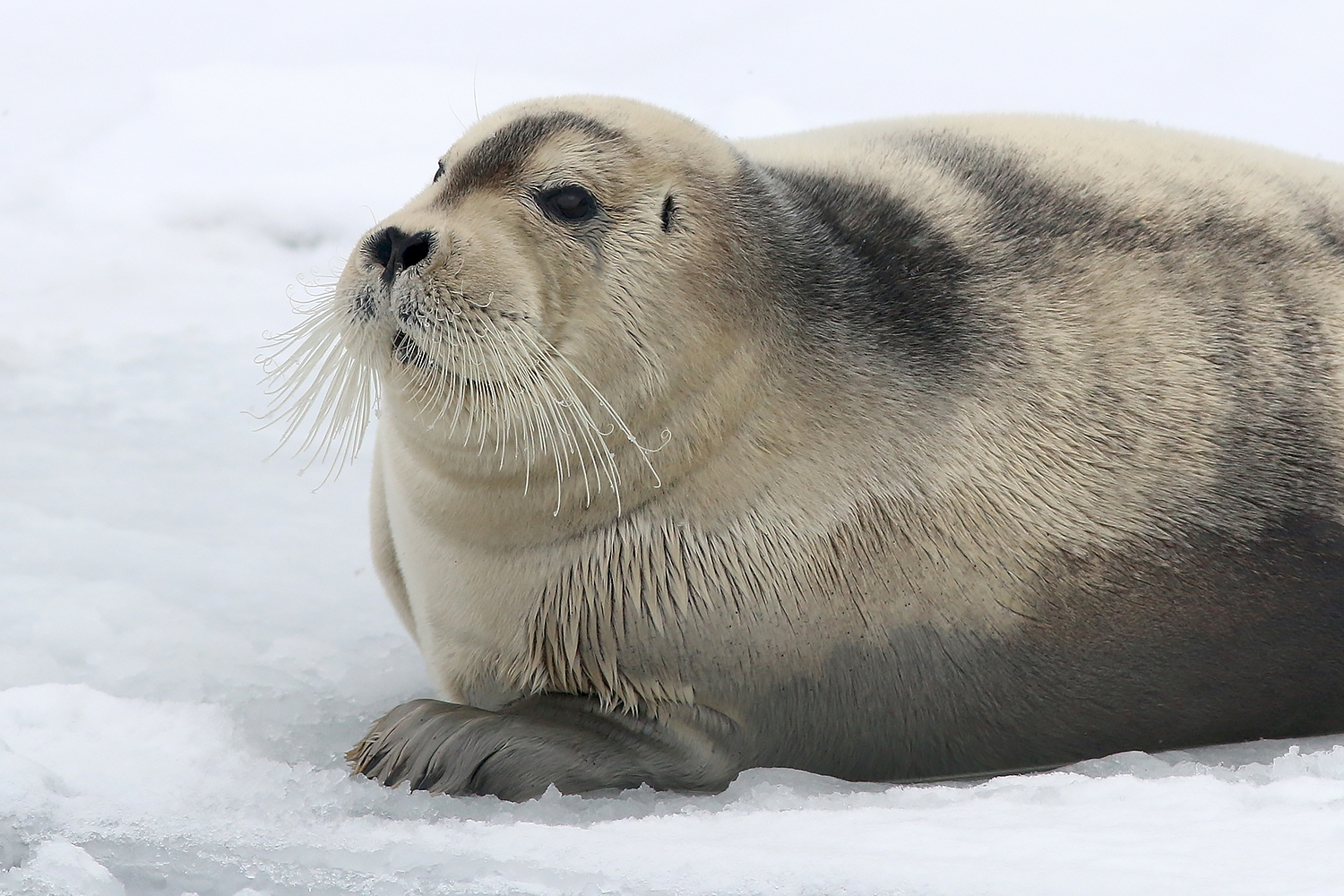Bearded Seal_Mar92019_1857