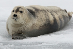 BeardedSeal_Mar92019_1634
