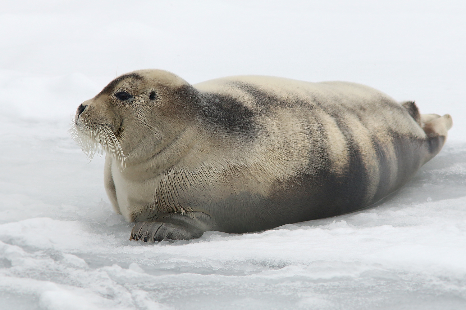 BeardedSeal_Mar92019_1661