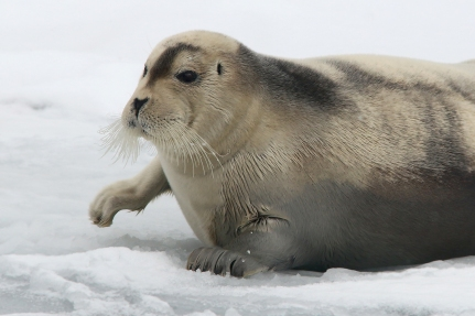 BeardedSeal_Mar92019_1688