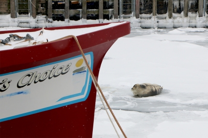 BeardedSeal_Mar92019_1737