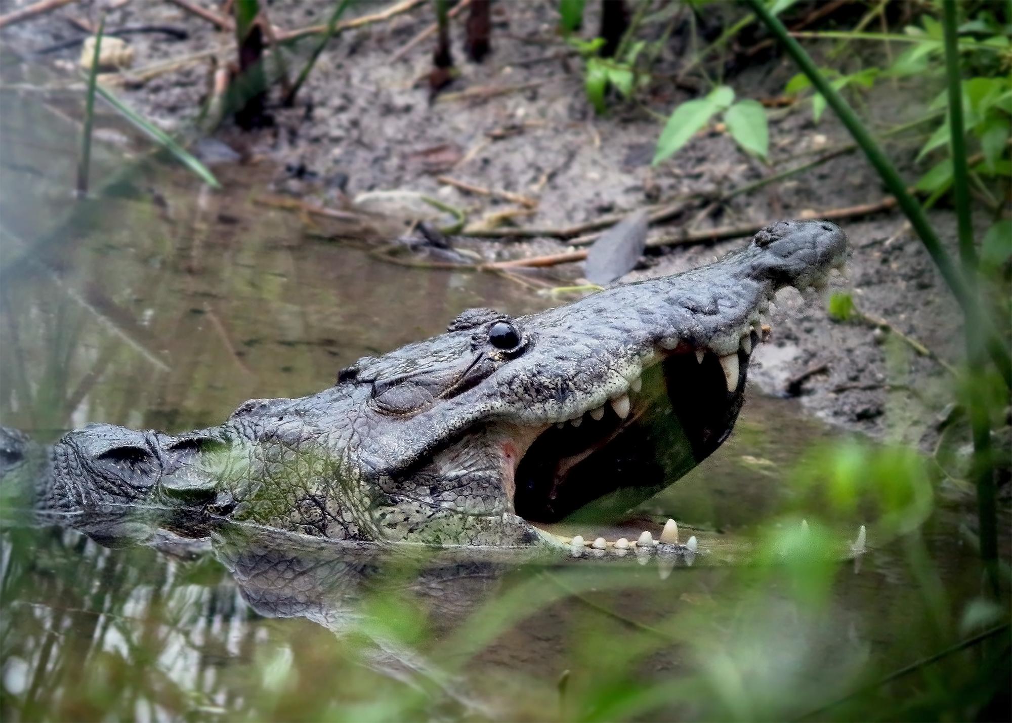 MoreletsCrocodile_7249