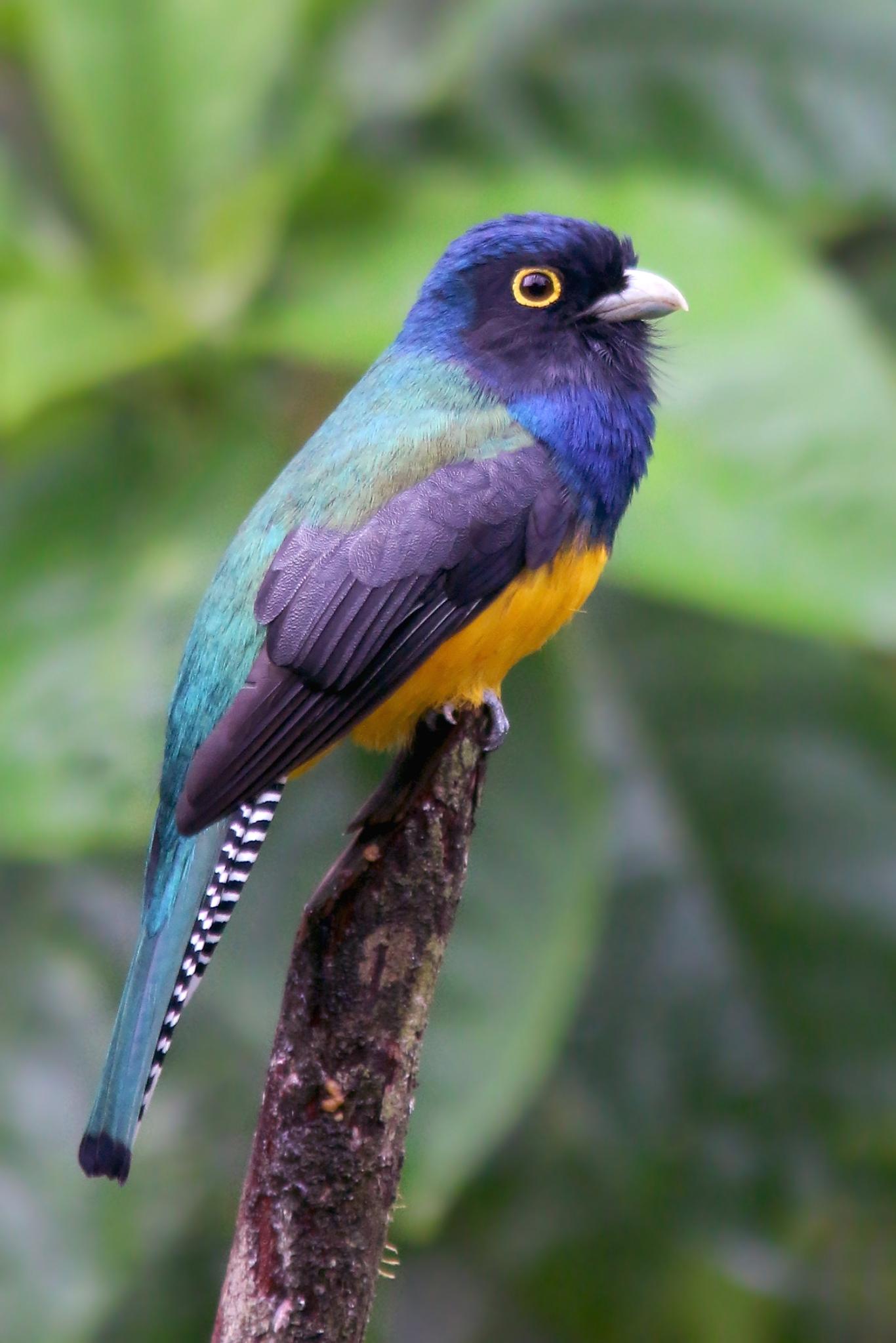 GuiananTrogon_2412